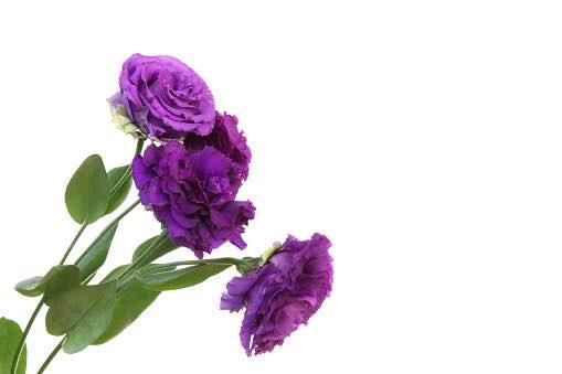 紫のトルコキキョウ