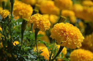 黄色のマリーゴルド
