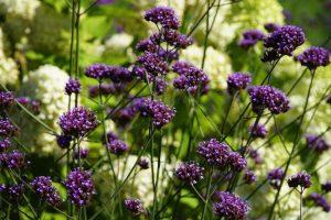 紫のバーベナ