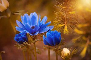 青紫のアネモネ